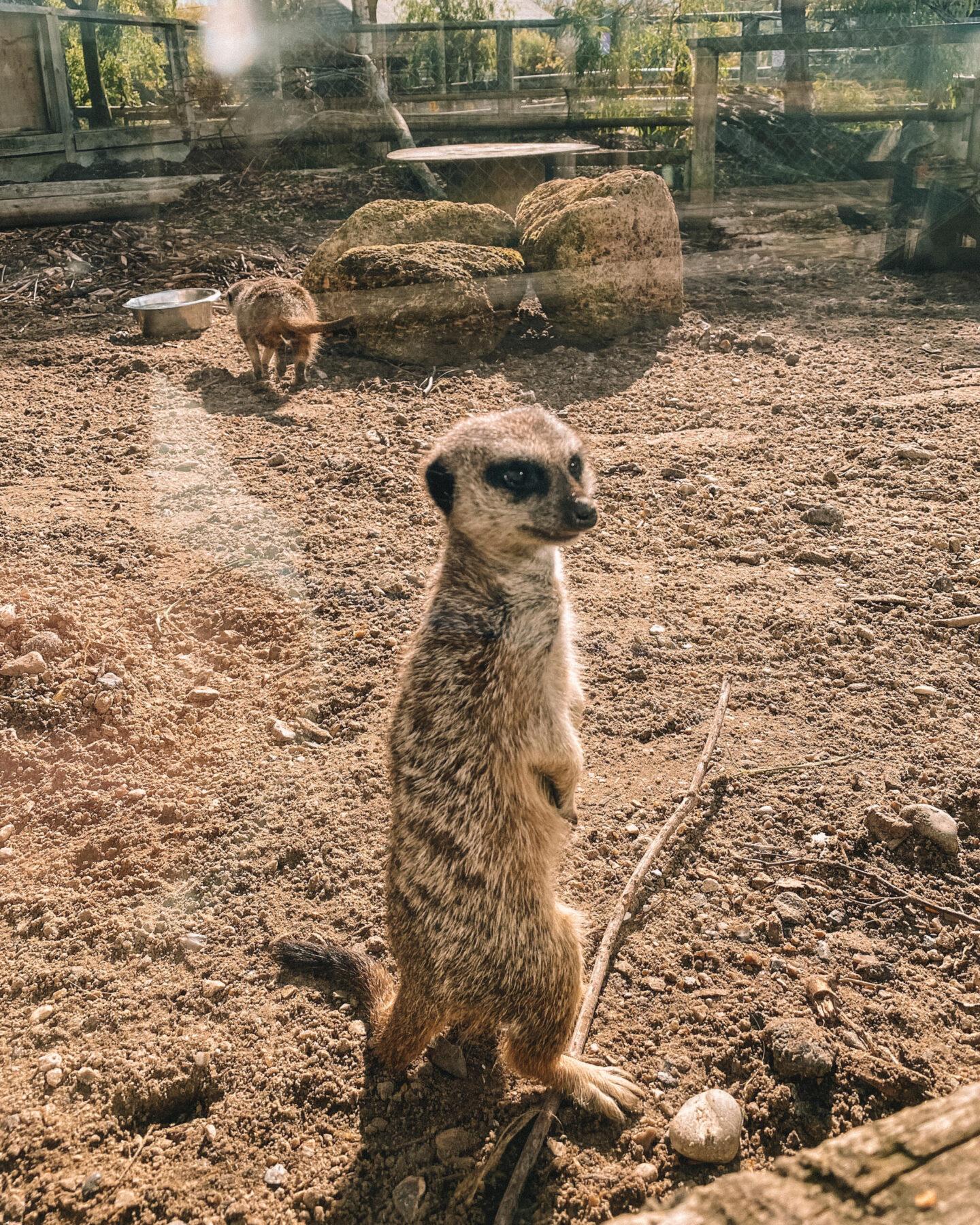 Wingham-Wildlife-Park-Merrkat