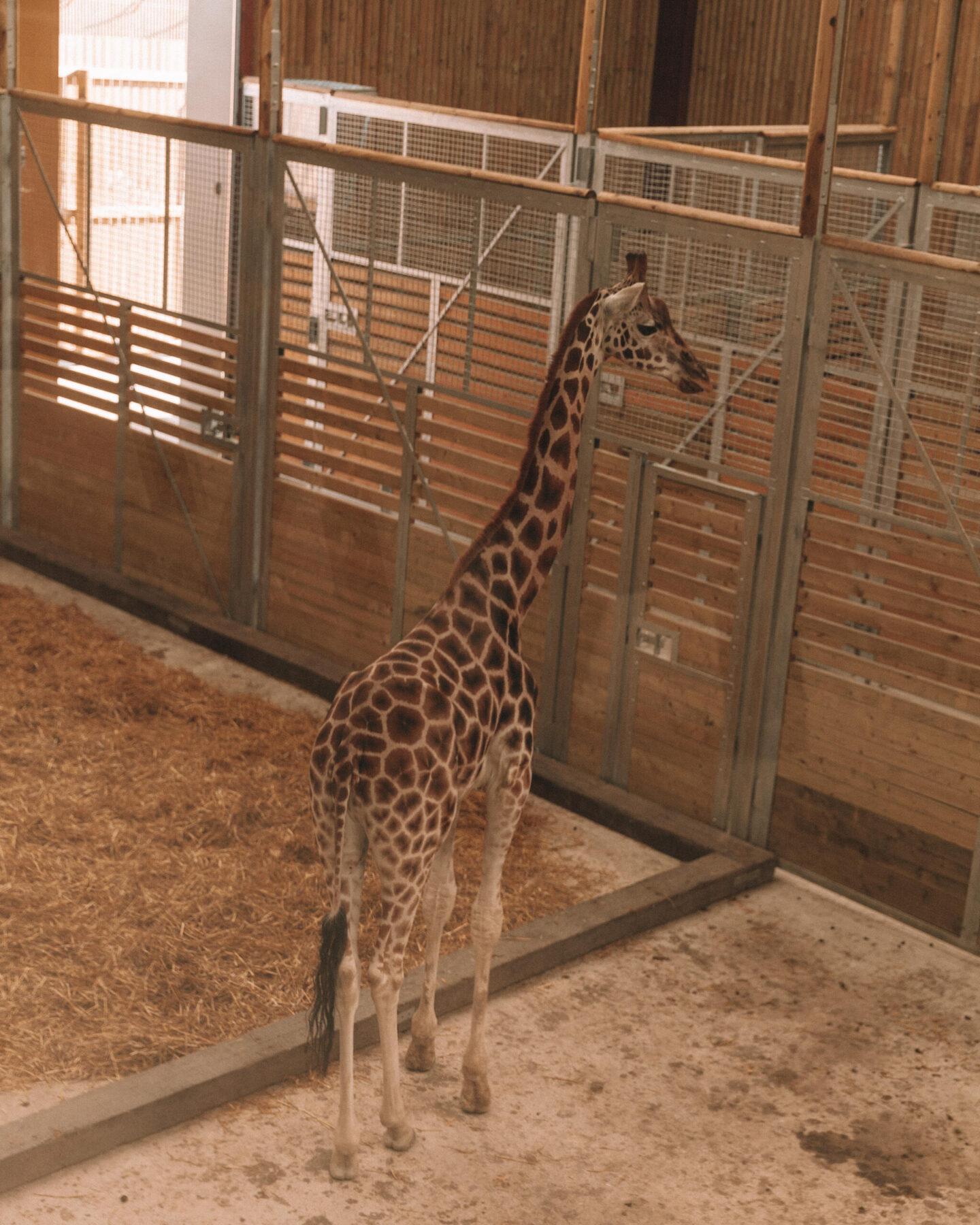 Wingham-Wildlife-Park-Giraffe-02